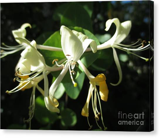 Wild Honeysuckle Canvas Print