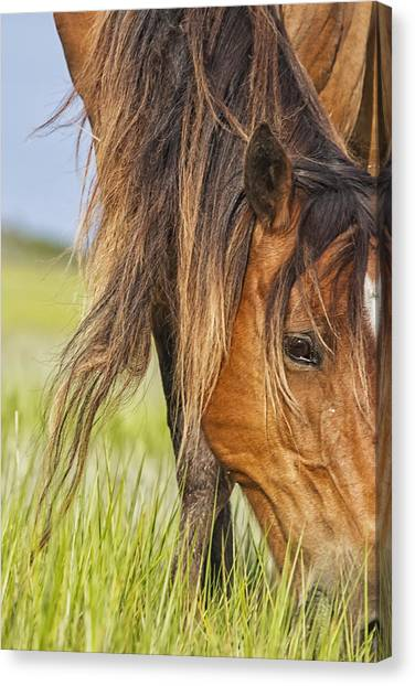 Wild Horse Grazing Canvas Print