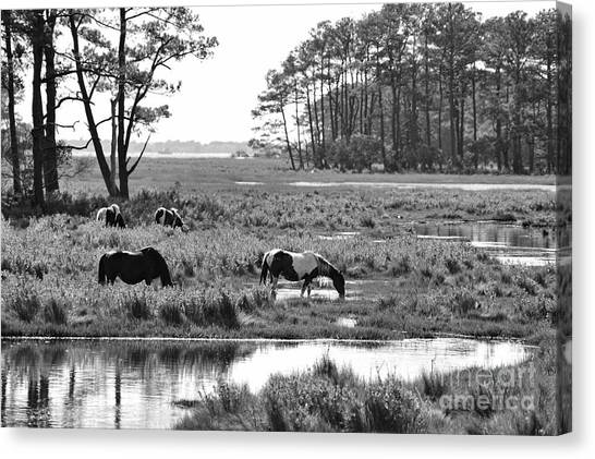 Wild Horses Of Assateague Feeding Canvas Print