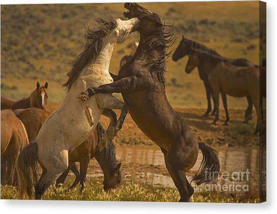 Wild Mustang Stallions - Signed Canvas Print