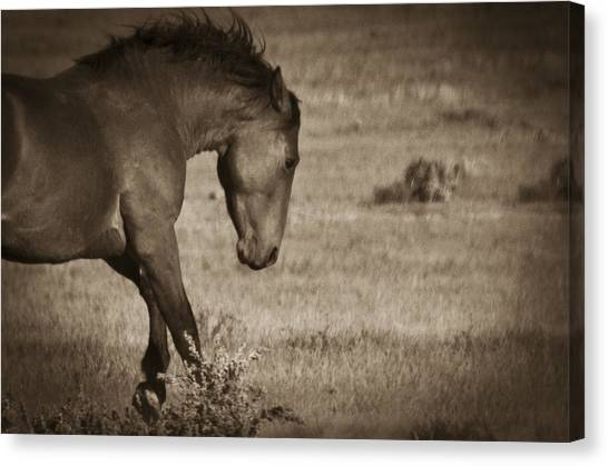 Canvas Print featuring the photograph Wild Mustangs Of New Mexico 31 by Catherine Sobredo