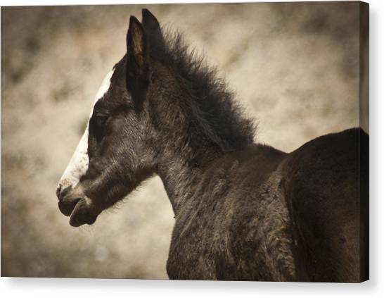 Wild Mustangs Of New Mexico 37 Canvas Print