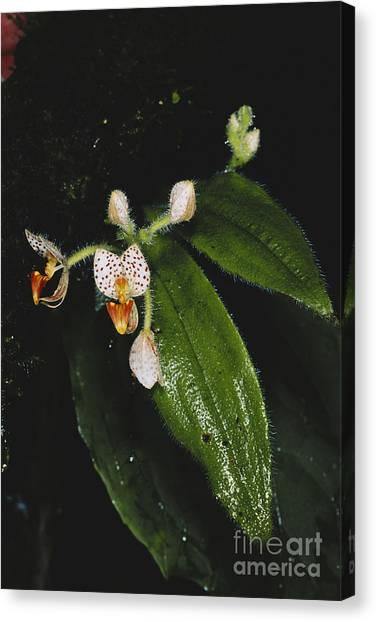 Monteverde Canvas Print - Wild Orchid by Gregory G. Dimijian, M.D.