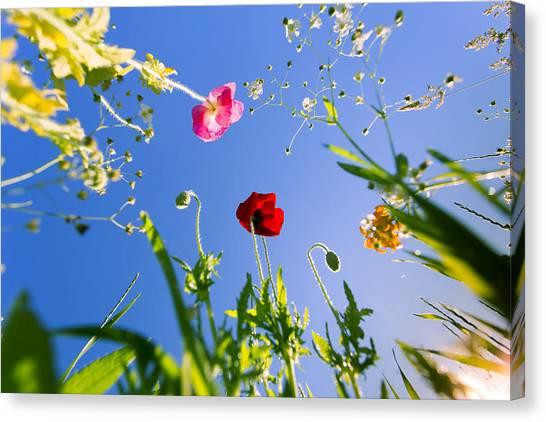 Poppys Canvas Print - Wild Poppy Flowers by Dapixara Art