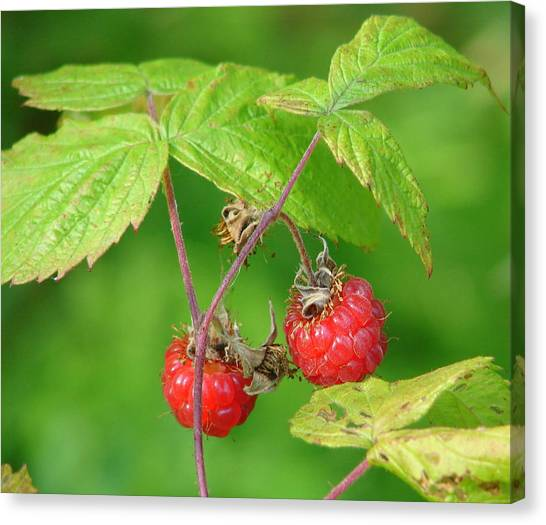 Wild Berries Canvas Print - Wild Raspberries by Lew Davis