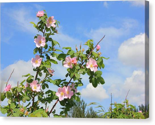 Wild Roses In June Canvas Print