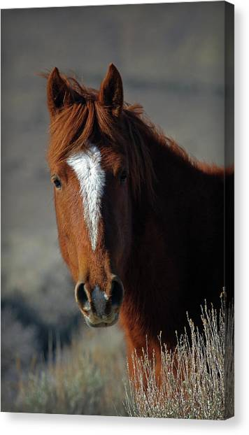 Wild Stallion Canvas Print