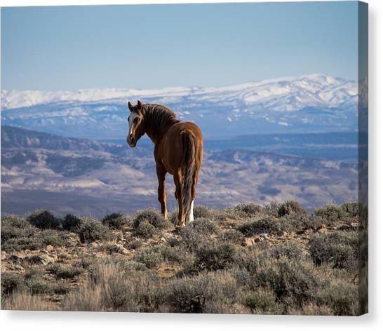 Wild Stallion Of Sand Wash Basin Canvas Print