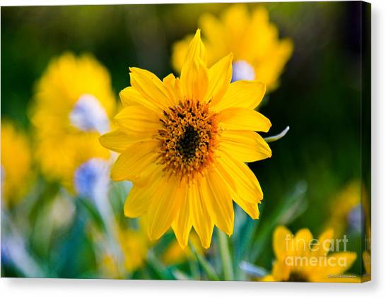 Wild Sunflower Canvas Print