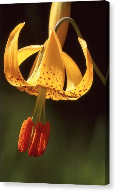 Wild Tiger Lily Canvas Print