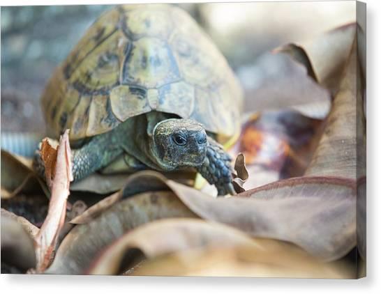 Tortoises Canvas Print - Wild Tortoises In A Garden In Sivota by Ashley Cooper