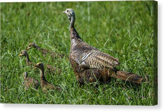 Wild Turkey And Poults Canvas Print by Brian Stevens
