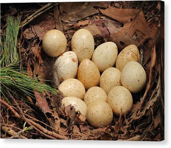Wild Turkey Eggs In Nest Canvas Print
