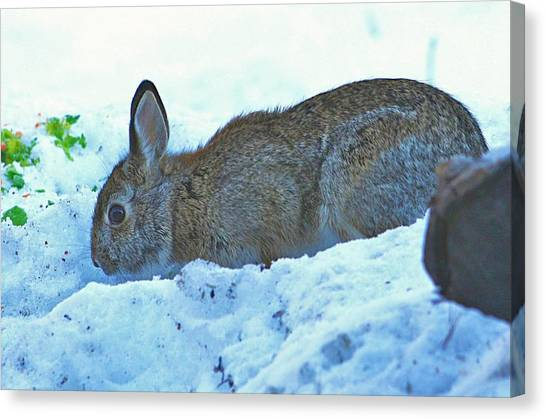 Wild Rabbit Canvas Prints (Page #12 of 26) | Fine Art America