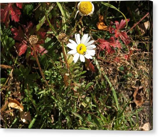 Wildflower @ Kit Carson Canvas Print