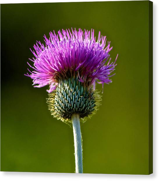 Wildflower Macro Canvas Print