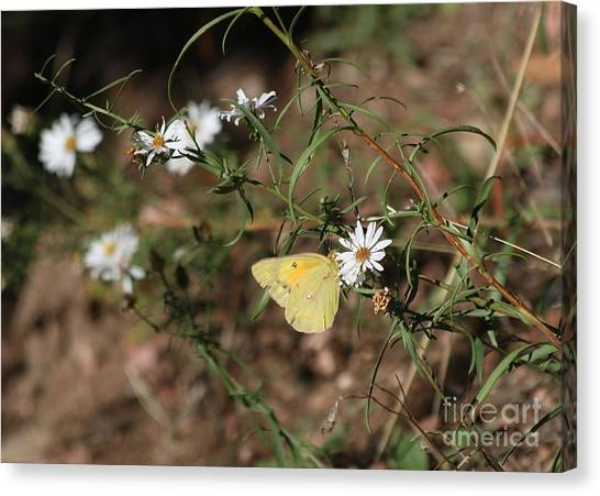 Sulfur Butterfly Canvas Print - Wildflowers And  Butterfly by Angela Koehler