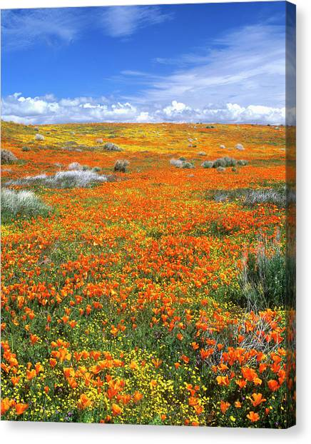 Wildflowers At The California Poppy Canvas Print by John Alves
