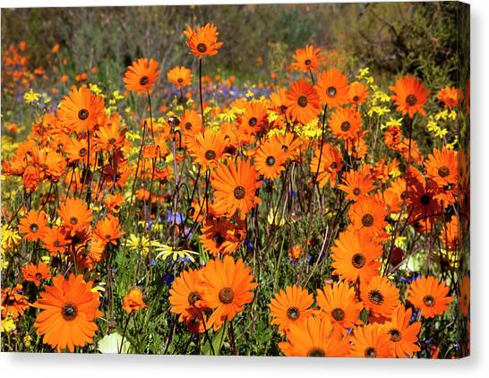 Llandudno Canvas Print - Wildflowers In Namaqua National Park by Jaynes Gallery
