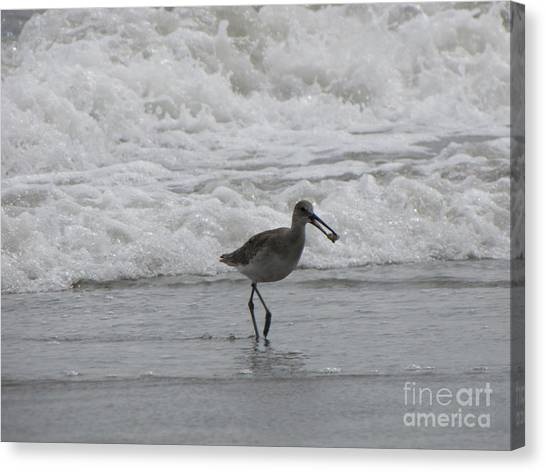 Willet With A Catch Canvas Print by Gayle Melges