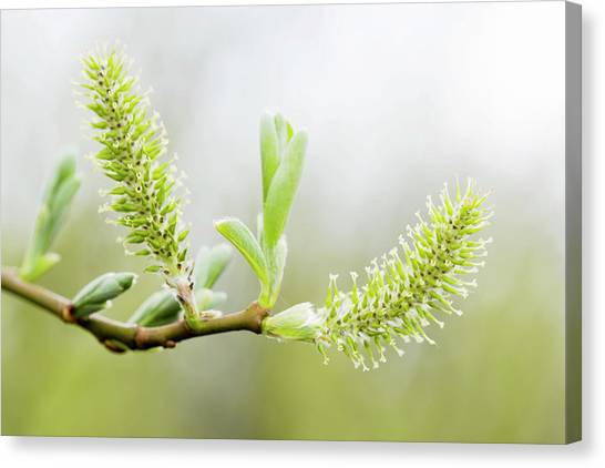 Willow Catkins (salix Sp.) Canvas Print by Gustoimages/science Photo Library