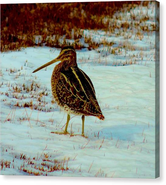 Wilson's Snipe 1 Canvas Print by Stephanie Kendall