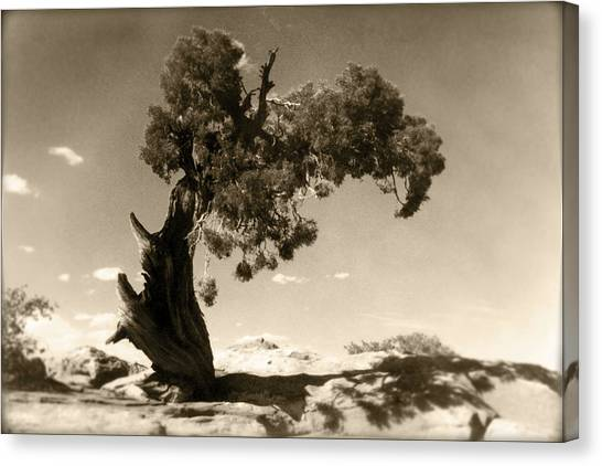 Black Sand Canvas Print - Wind Swept Tree by Scott Norris