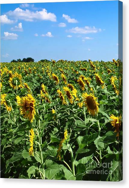 Windblown Sunflowers Canvas Print