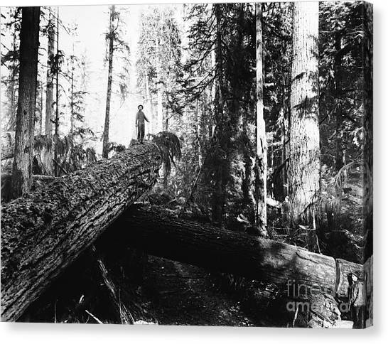 Windfall For Loggers 1908 Canvas Print