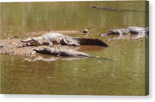 Windjana Crocodiles Canvas Print