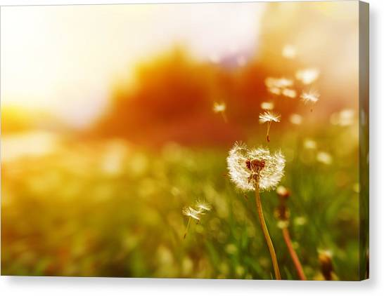 Windy Dandelion In Spring Time Canvas Print by Stock_colors