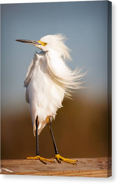 Windy Egret Canvas Print by Tammy Smith