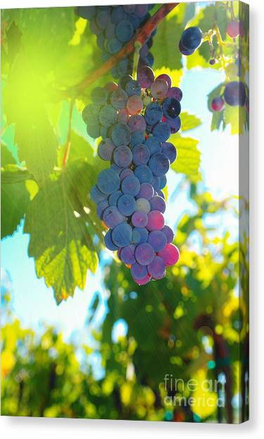 Wine Grapes  Canvas Print