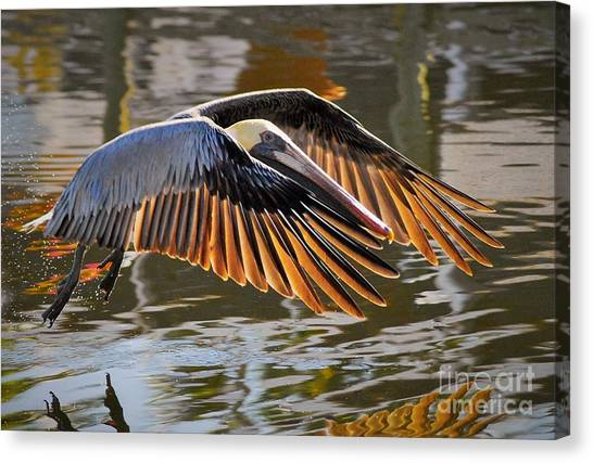 Pelicans Canvas Print - Wings Of Gold by Quinn Sedam