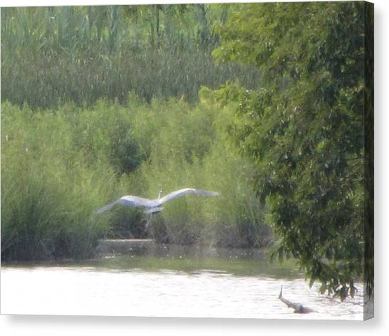 Wings Wide Open Great Blue Heron Mighty Sight Canvas Print by Debbie Nester