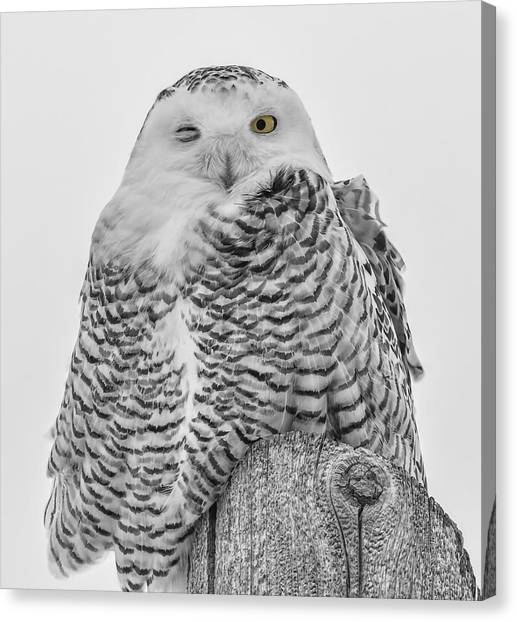 Winking Snowy Owl Black And White Canvas Print