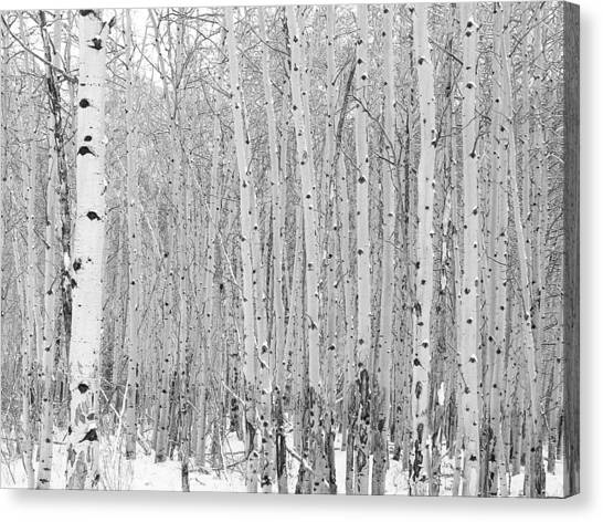 Winter Aspen Canvas Print