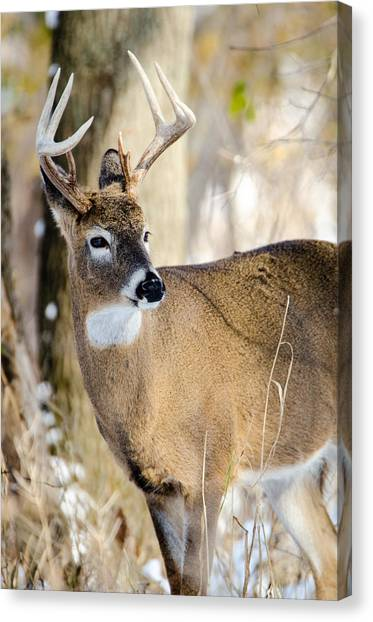 Winter Buck Canvas Print
