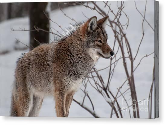 Winter Coyote Canvas Print