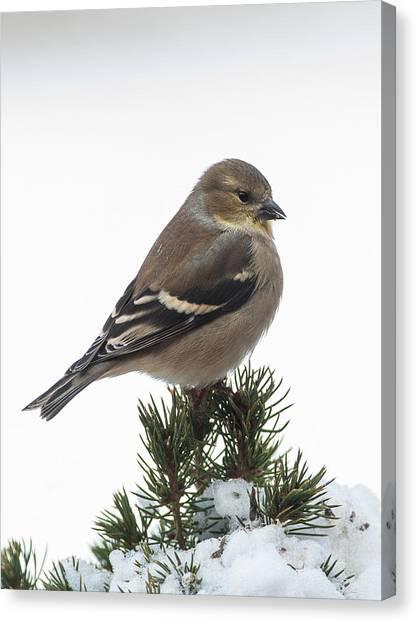 Winter Goldfinch Canvas Print