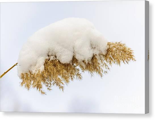 Weed Canvas Print - Winter Reed Under Snow by Elena Elisseeva