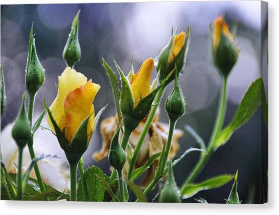 Winter Roses Canvas Print by Jan Amiss Photography