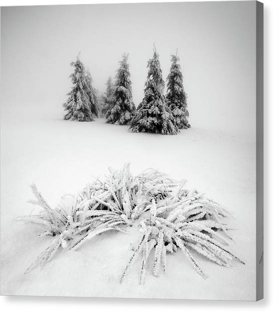 Fir Trees Canvas Print - Winter Scenery by Daniel ?e?icha