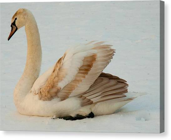 Winter Swan Song Canvas Print