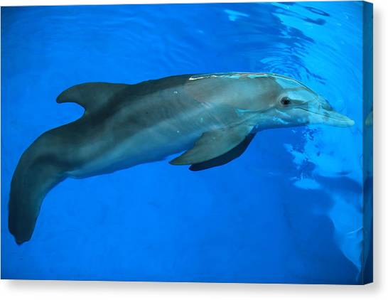 Winter The Dolphin Canvas Print