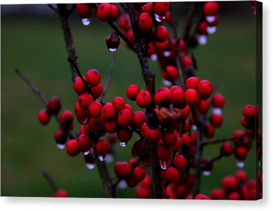 Winterberry Bush After The Rain Number 1 Canvas Print