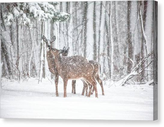 White-tailed Deer Canvas Print - Winters Love by Karol Livote