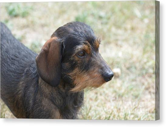 Wire Haired Daschund Canvas Print