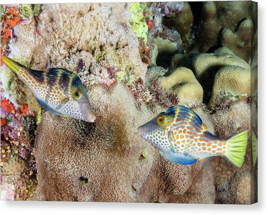 Behaviour Canvas Print - Wire-net Filefish Mating Display by Louise Murray