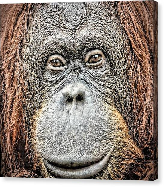 Orangutans Canvas Print - Wise #orangutan#vienna Zoo#eyes#wise by Gia Marie Houck